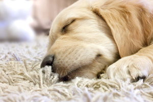 Pet Stain & Odor Removal Raleigh